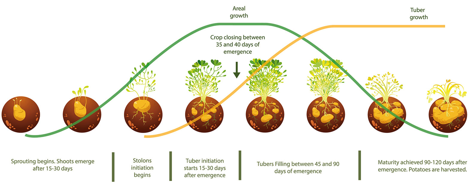 What to process potatoes before planting 82